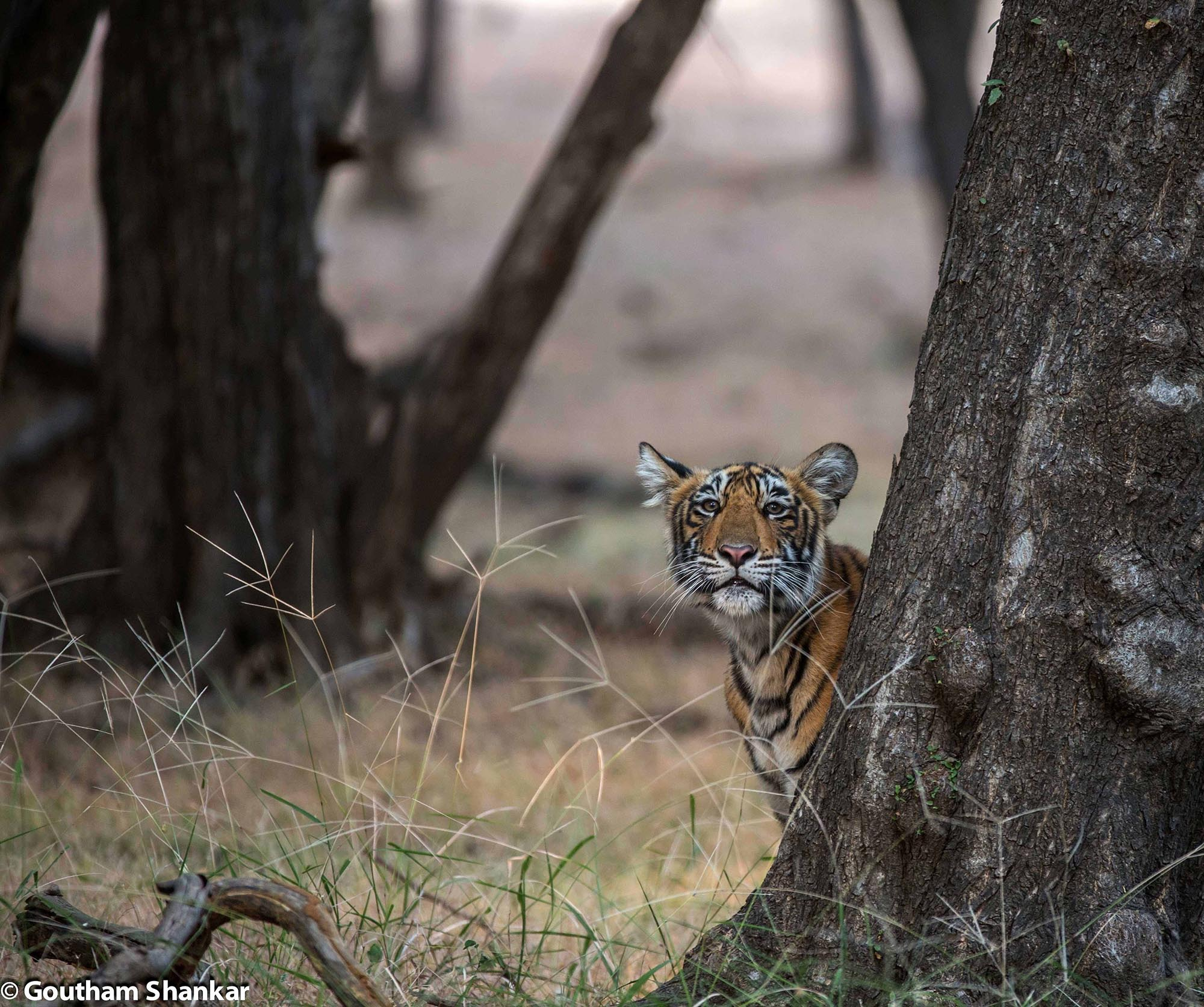 T19 cub from Ranthambore, Rajasthan