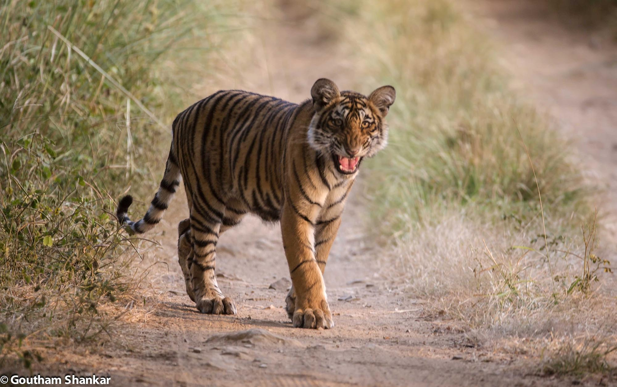 Cub2 of T19 in Ranthambore, Rajasthan