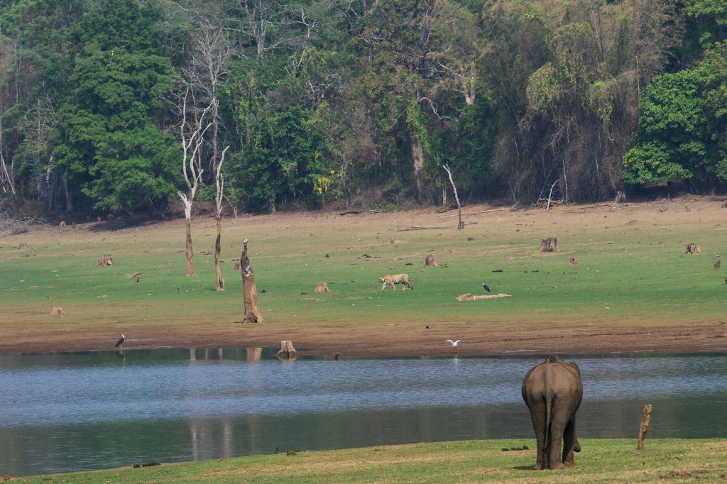 ESSENCE OF KABINI - Every place has a signature photograph to it. For me, this is the closest it comes for Kabini. The banks of the reservoir, with fresh grass growing at the onset of summer. The beautiful moist deciduous forest all around it. And the majestic animals that define the place - the Tiger and the Elephant.