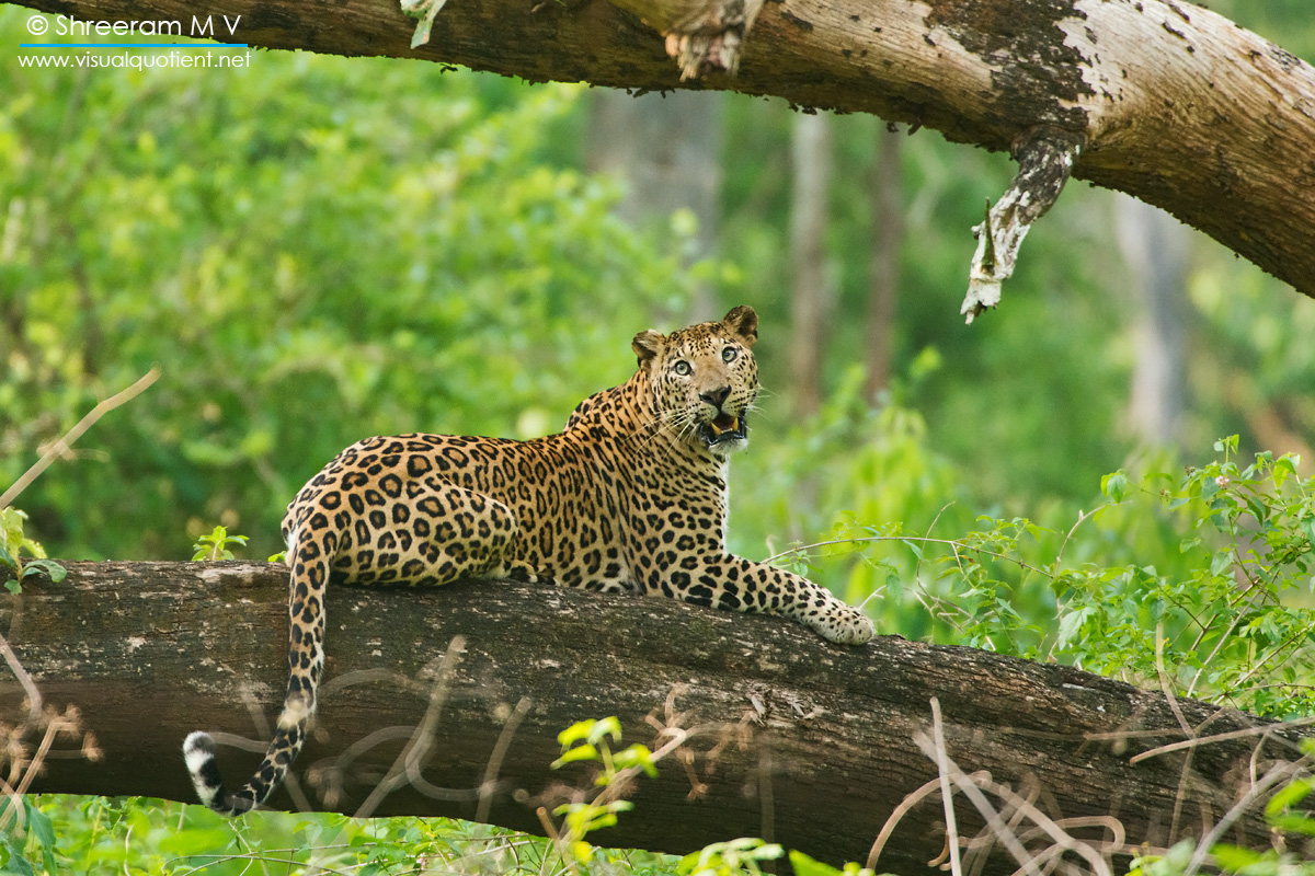 LEOPARD-ON-TREE - This one decided to spend the afternoon on a fallen tree. One often comes across Leopards resting on trees here, probably to keep themselves safe from the one predator that can vanquish them.