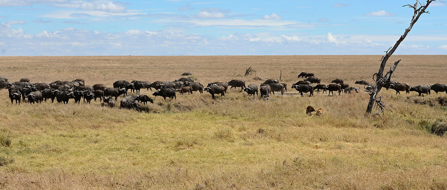 Water Buffaloes, Serengeti, Africa