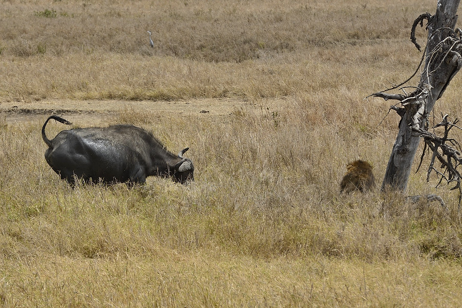 African Lion and Water Buffaloes, Serengeti, Africa