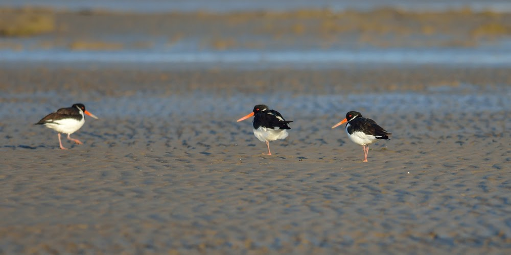 Oyster catchers, Greater Rann of Kutch