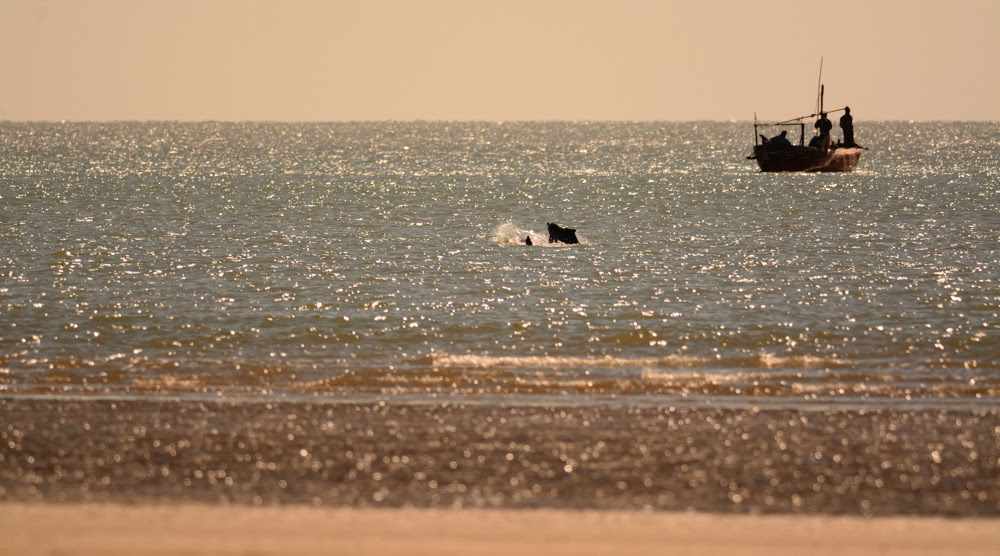 Dolphins off the shore, Greater Rann of Kutch