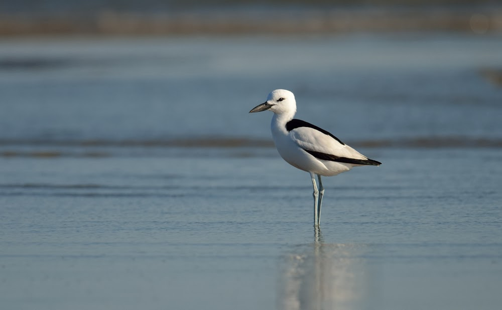 Crab Plover, Greater Rann of Kutch