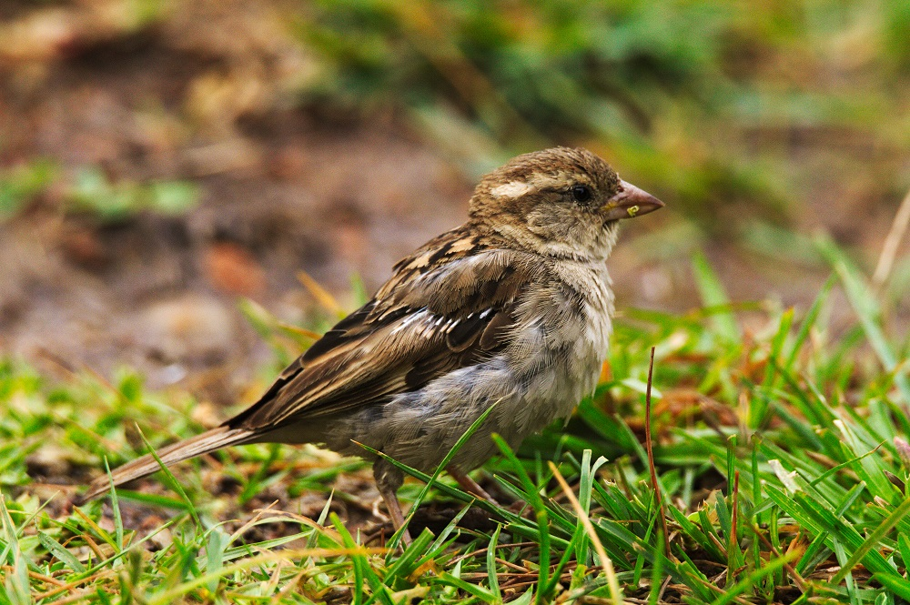 Common Sparrow, Bandipur National Park