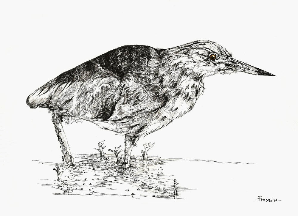 Indian Pond Heron, Bangalore, Wildart by Prasad Natarajan