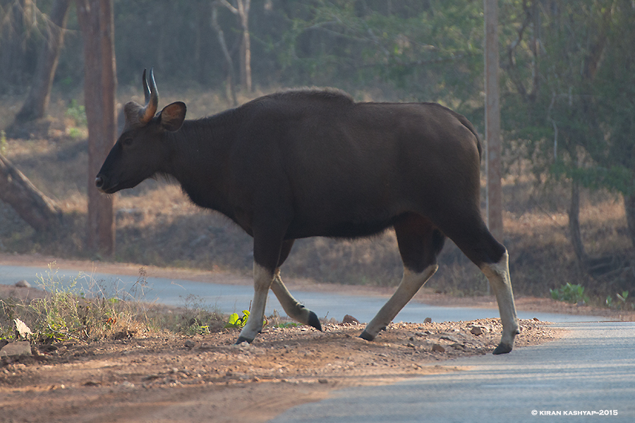 Indian Gaur, Nagarahole National Park, Kabini, Karnataka