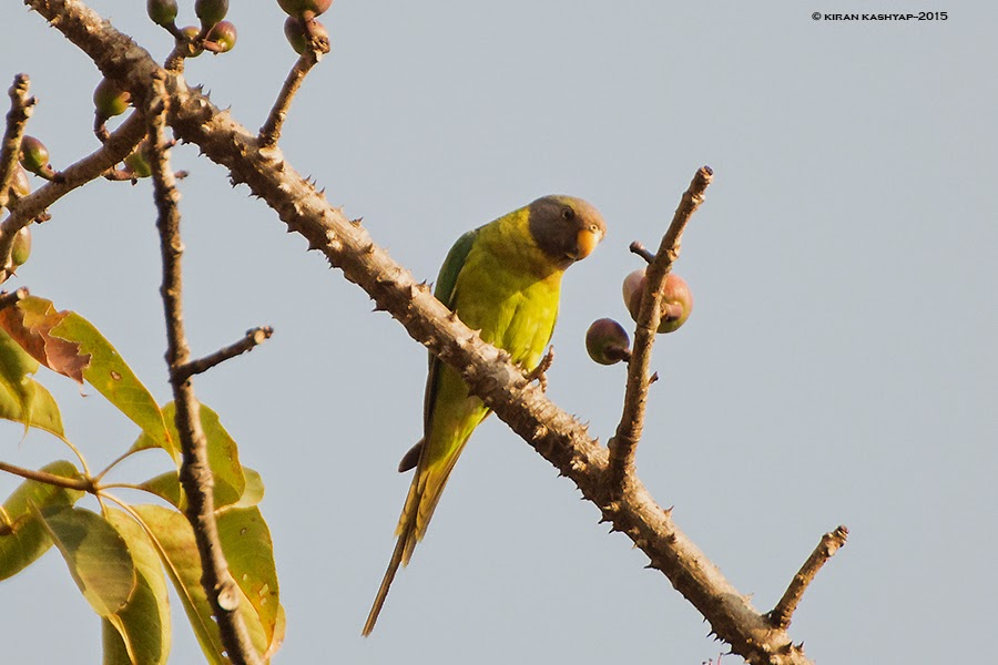 Plum headed Parakeet-female, Dandeli, Karnataka