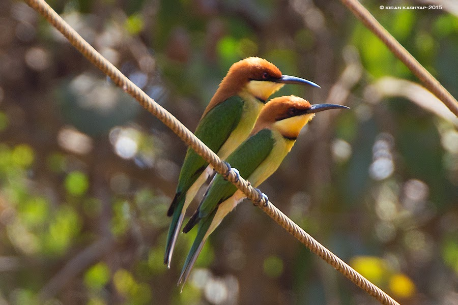 Chestnut headed bee eater, Dandeli, Karnataka