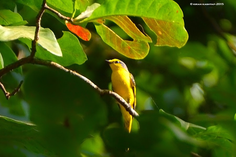 Orange Minivet-female, Dandeli, Karnataka