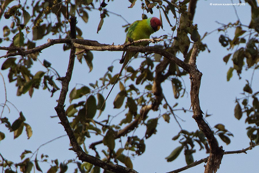 Plum headed Parakeet-Male, Dandeli, Karnataka