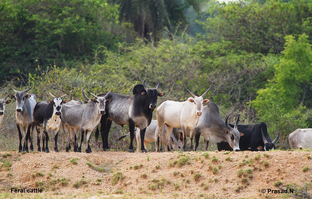Feral Cattle, Goolittittu, Wildlife week wild encounters by Prasad Natarajan