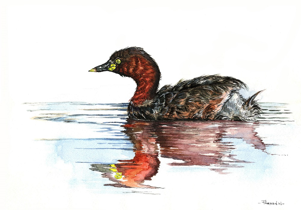 Little Grebe, Bangalore, Wildart talk with Prasad Natarajan - Wildlife Artist, Birds of Bangalore - Week 19