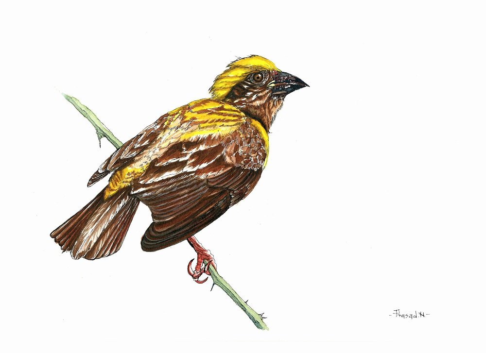 Baya Weaver Male, Bangalore, Wildart talk with Prasad Natarajan - Wildlife Artist, Birds of Bangalore - Week 21
