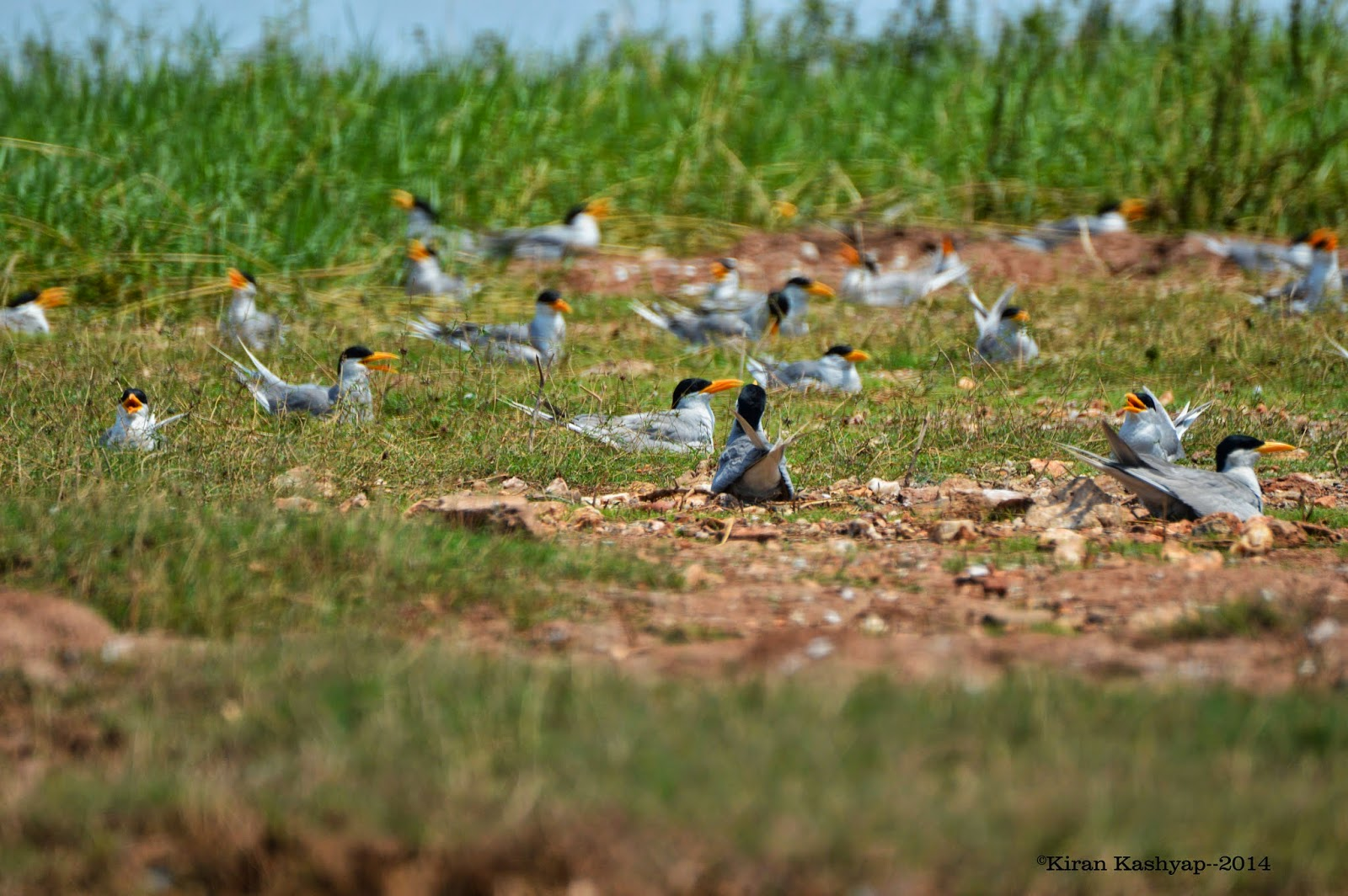 Female River Terns: taking care of their eggs and young ones., River Tern Lodge, Bhadra