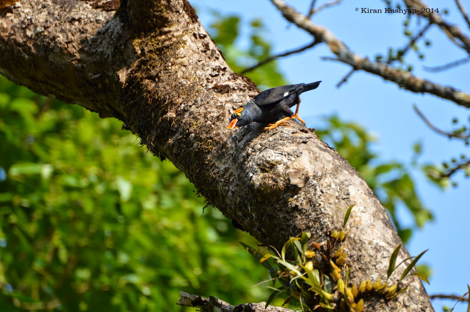 Hill Myna, River Tern Lodge, Bhadra