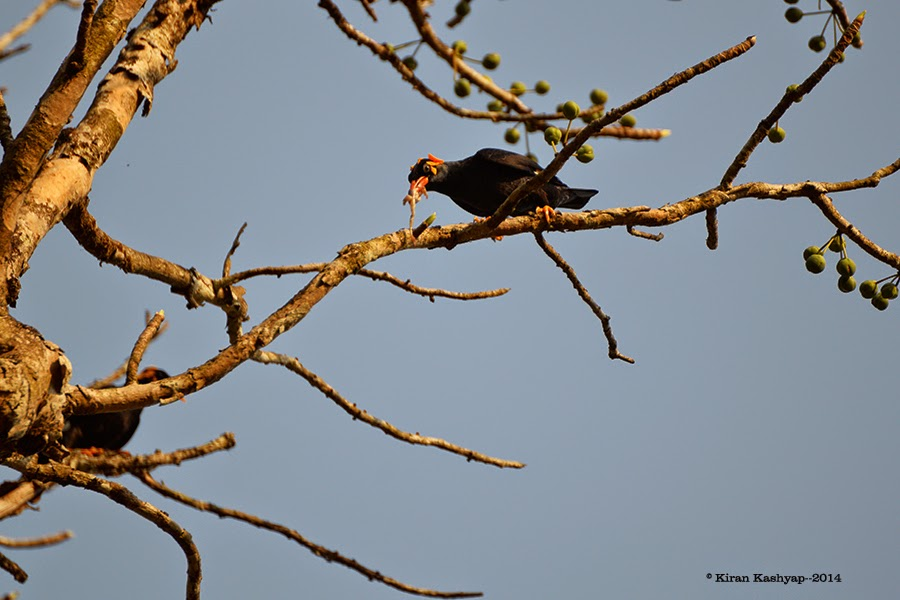 Hill Myna with a kill, River Tern Lodge, Bhadra