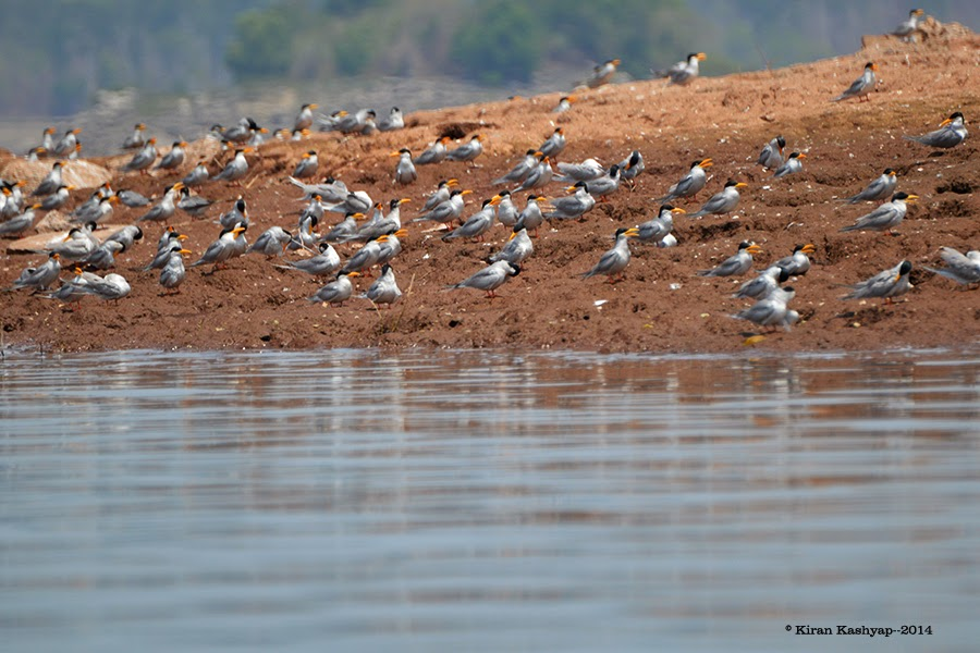 Mobbed by River Terns., River Tern Lodge, Bhadra