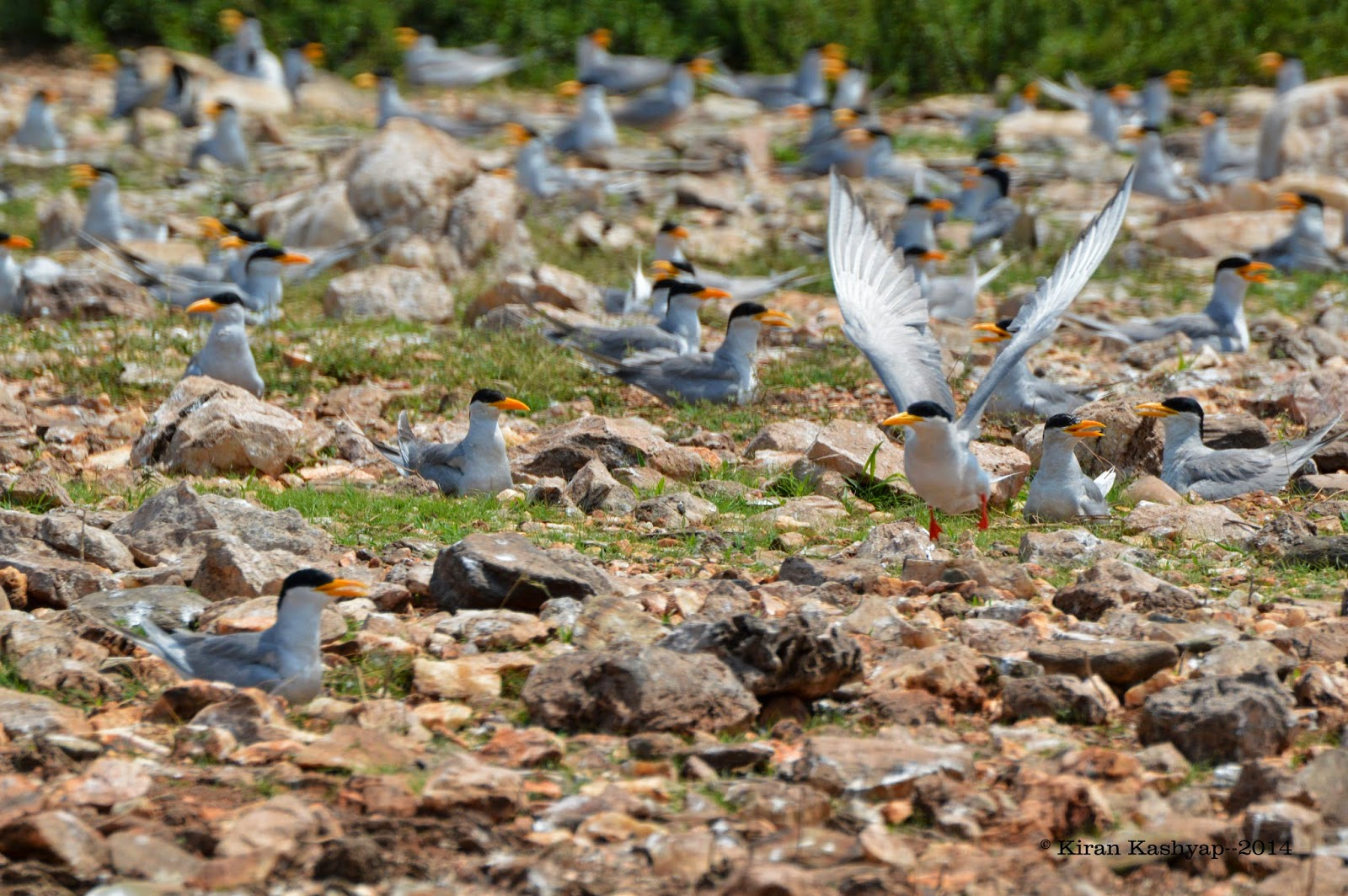 River Terns--orange beaks everywhere.!, River Tern Lodge, Bhadra