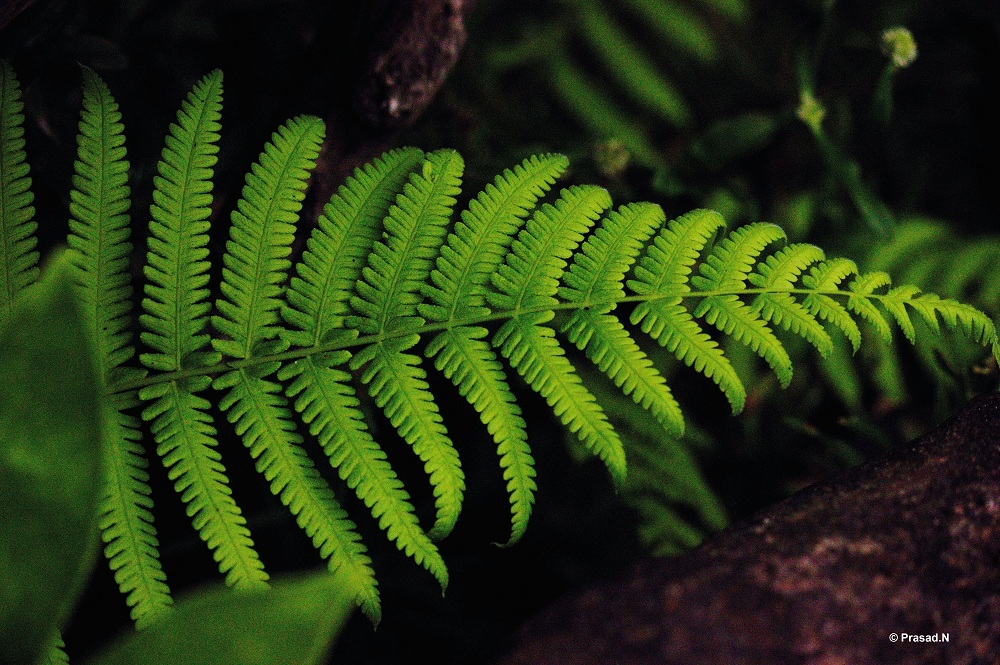 Title: Fern Formation, Bhagavathi Nature Camp, Kudremukh