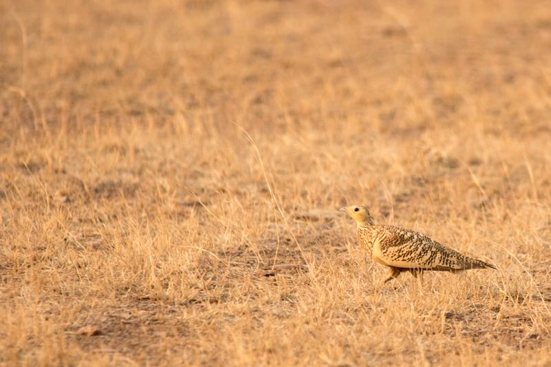 Chestnut-Bellied Sandgrouse (Female)