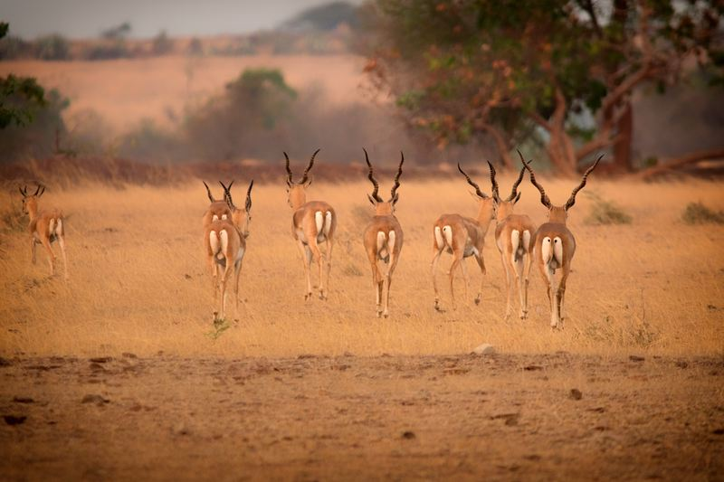 Blackbucks, Rollapadu, Andhra Pradesh