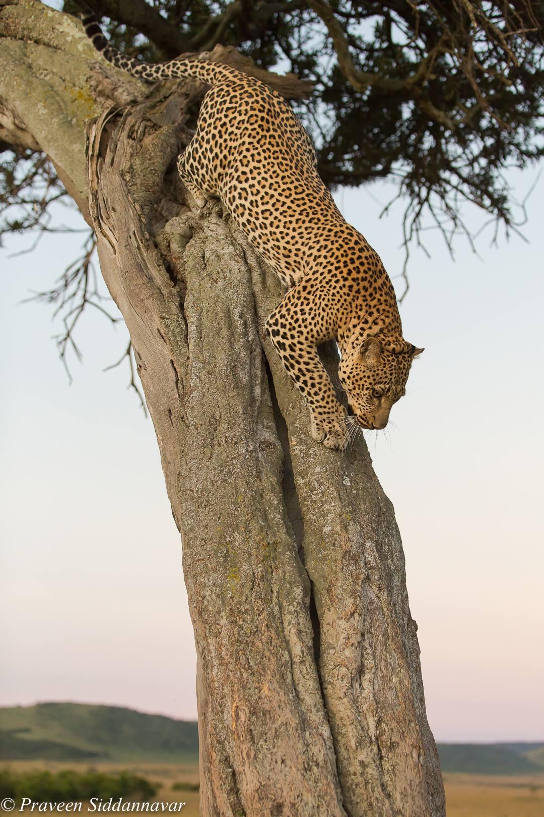 Jaguar Vs Leopard Wilderhood Recitals