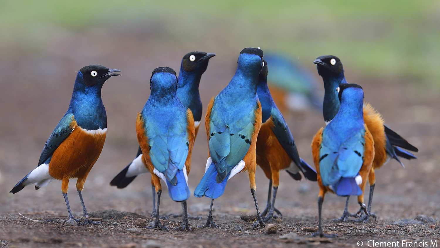 Superb starlings, a bold group of 10