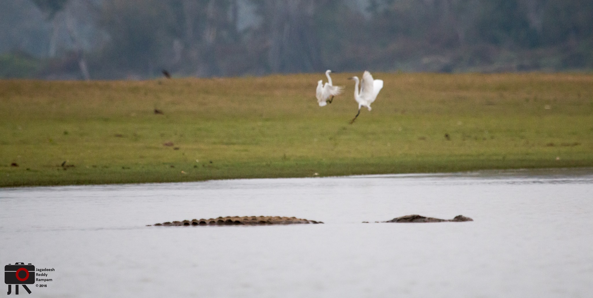 Playful egrets with Croc in foreground, Kabini Backwaters