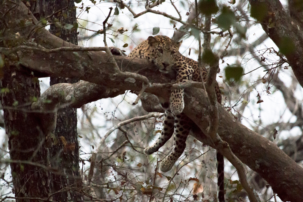 Leopard on Canopy, in the late evening in Kabini, Nagarhole National Park