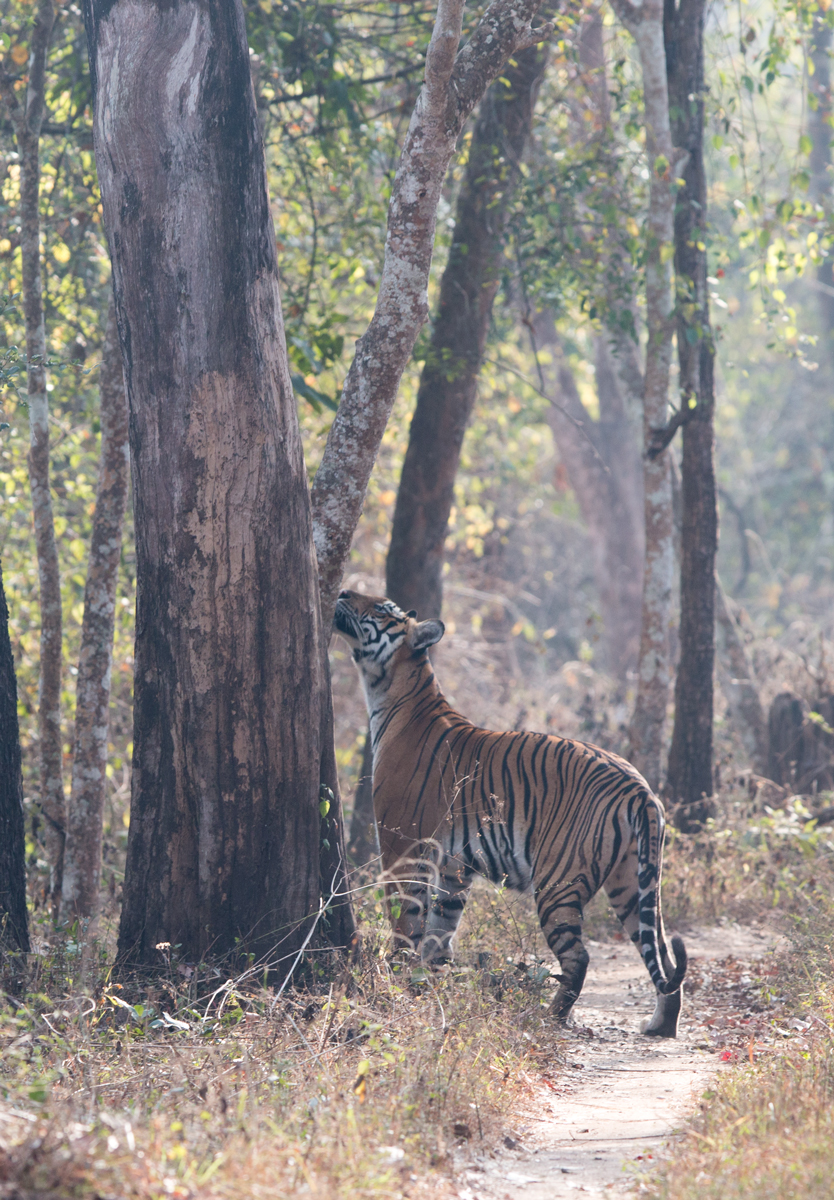 Tigress sniffing the trees to check the intruders, Kabini